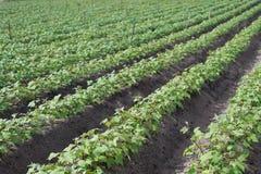 Foto all'aperto delle piante di fagiolo della soia in un campo, giacimento con le file delle piante della soia, fuoco selettivo d Immagine Stock