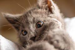 Foto alta vicina del gattino domestico sveglio che si trova sull'asciugamano bianco fotografia stock libera da diritti