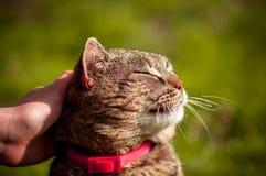 Foto alta vicina del gatto domestico soddisfatto che ? segnato con la mano su fondo verde vago fotografia stock libera da diritti