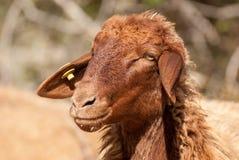 Foto alta vicina della testa delle pecore fotografia stock