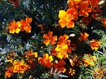 Foto amarilla de la macro de las flores de las maravillas fotos de archivo