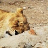Foto animale alta vicina della leonessa Immagini Stock