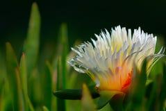 Foto ascendente cercana de la flor blanca del Gazania en la tierra negra fotografía de archivo