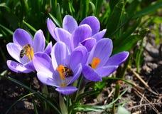 Foto ascendente cercana de la flor y de las abejas del azafrán imagenes de archivo
