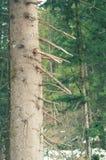 Foto ascendente cercana del árbol de pino con las ramas quebradas en el bosque en un día de primavera temprano fotos de archivo