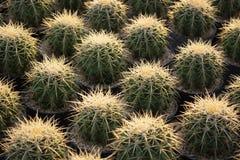 Foto ascendente cercana del cactus con espinoso agudo imagen de archivo libre de regalías