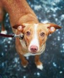 Foto ascendente cercana del perro en fondo azul del hielo Fotos de archivo libres de regalías