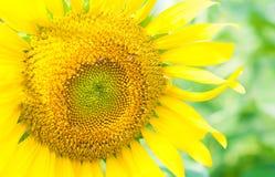 Foto ascendente macra y cercana del girasol amarillo de oro Foto de archivo libre de regalías