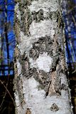 Foto ascendente próxima da casca em uma árvore de vidoeiro branco e cinzento imagens de stock royalty free