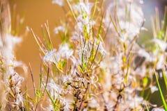 Foto astratta di erba asciutta e di lanugine fotografia stock libera da diritti