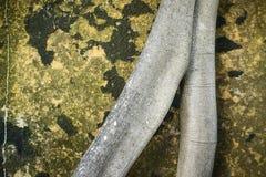 Foto astratta di una radice dell'albero che porge un fondo del lichene dorato che copre un masso in Sydney Australia Fotografia Stock Libera da Diritti