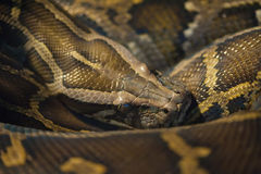 Foto auf lager: Angolanische Pythonschlange (Pythonschlange anchietae) stockbild