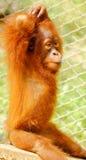 Foto auf Lager - nettes Orang-Utan Baby Lizenzfreies Stockbild