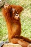 Foto auf Lager - nettes Orang-Utan Baby Lizenzfreies Stockfoto
