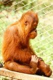 Foto auf Lager - nettes Orang-Utan Baby Stockfotos