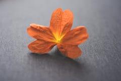 Foto auf Lager von crossandra blüht alias Aboli-Blumen in Indien Lizenzfreies Stockbild