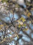 Foto av att blomma päronträdet royaltyfri fotografi