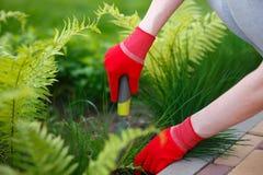 Foto av behandskade kvinnahänder med hjälpmedlet som tar bort ogräset från jord royaltyfri foto