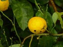 Foto av citronen och citronträdet arkivbild