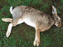 Foto av död kanin arkivfoton