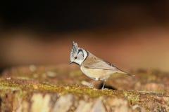 Foto av den älskvärda krönade mesen, härlig färgrik miljö Arkivbilder