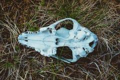 Foto av den djura skallen Arkivfoton