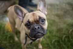 Foto av den franska bulldoggen på grön gräsmatta Arkivbild