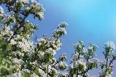 Foto av den härliga blomningen för plommonträd på blå himmel Abstrakt naturlig bakgrund i vår Arkivfoto