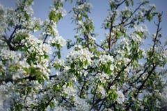 Foto av den härliga blomningen för plommonträd på blå himmel Abstrakt naturlig bakgrund i vår Royaltyfri Foto