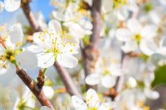 Foto av den härliga körsbärsröda blomningen, abstrakt naturlig bakgrund Arkivfoto