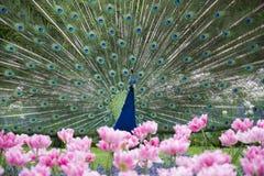 Foto av den härliga påfågeln med blommor royaltyfria foton