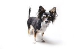 Foto av den intresserade emotionella hunden för leksakterrier på vit bakgrund Arkivbild
