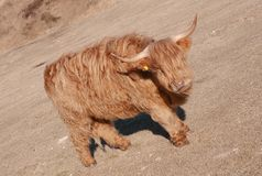 Foto av den röda tjuren royaltyfri bild