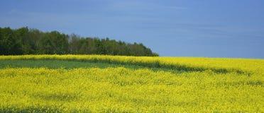 Foto av det gula fältet på våren Arkivfoton