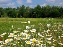 Foto av det lantliga fältet för sommarlandskapbakgrund med vita tusenskönor och gräs Fotografering för Bildbyråer