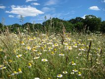 Foto av det lantliga fältet för sommarlandskapbakgrund med vita tusenskönor och gräs Royaltyfri Bild