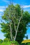 Foto av det torra och bosatta trädet på sommar Arkivbild