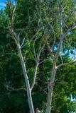 Foto av det torra och bosatta trädet på sommar Arkivbilder
