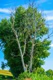 Foto av det torra och bosatta trädet på sommar Arkivfoton