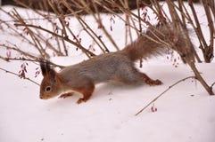 Foto av ekorren i vinterskogen Arkivbild