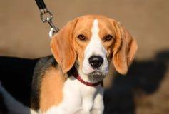 Foto av en beaglehund Fotografering för Bildbyråer