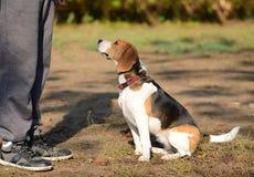 Foto av en beaglehund Royaltyfria Foton