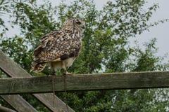 Foto av en Eagle uggla Arkivfoton