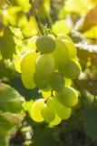 Foto av en filial av gröna druvor Royaltyfria Bilder
