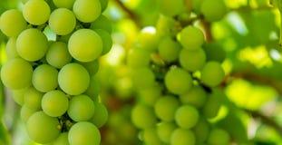 Foto av en filial av gröna vinrankadruvor Arkivbild
