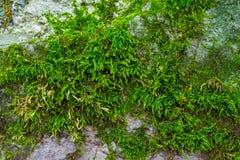 Foto av en gammal grön mossa på stenen i en skog Arkivbilder