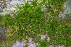 Foto av en gammal grön mossa på stenen i en skog Arkivbild