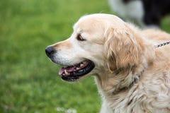 Foto av en hund för guld- apportörer royaltyfri fotografi