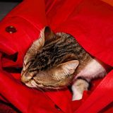 foto av en kattunge som sover i en röd påse royaltyfri foto