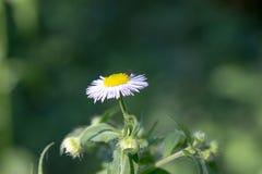 Foto av en tusensköna med en fluga ovanför den Arkivfoton